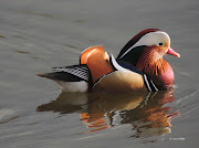 Chard res frequently plays host to one or two mandarin ducks and on a recent . (mandarin )
