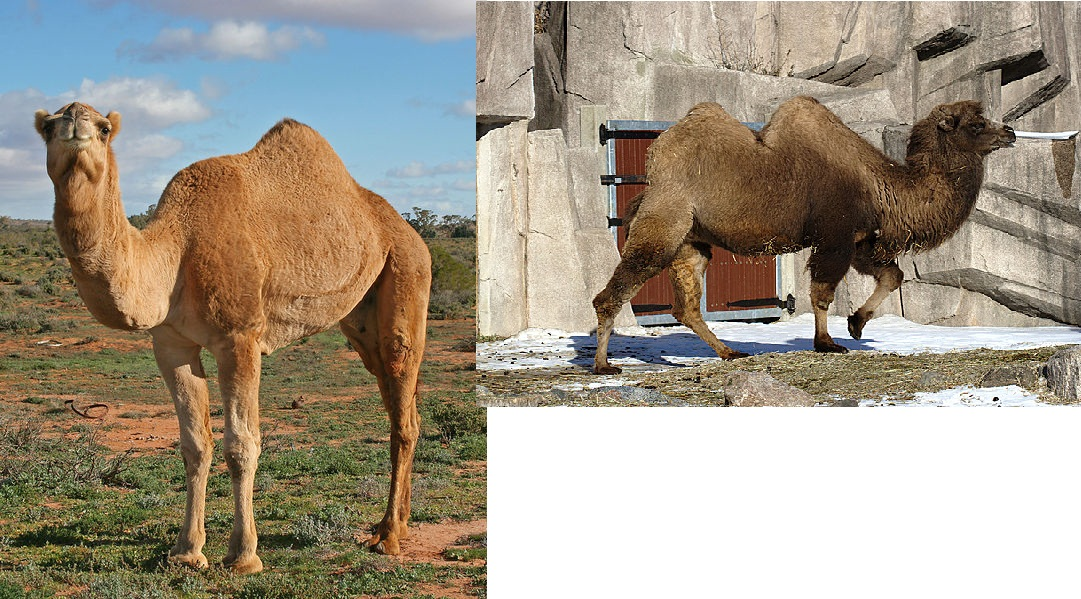 Interesting Facts about Camels   KnowLedge