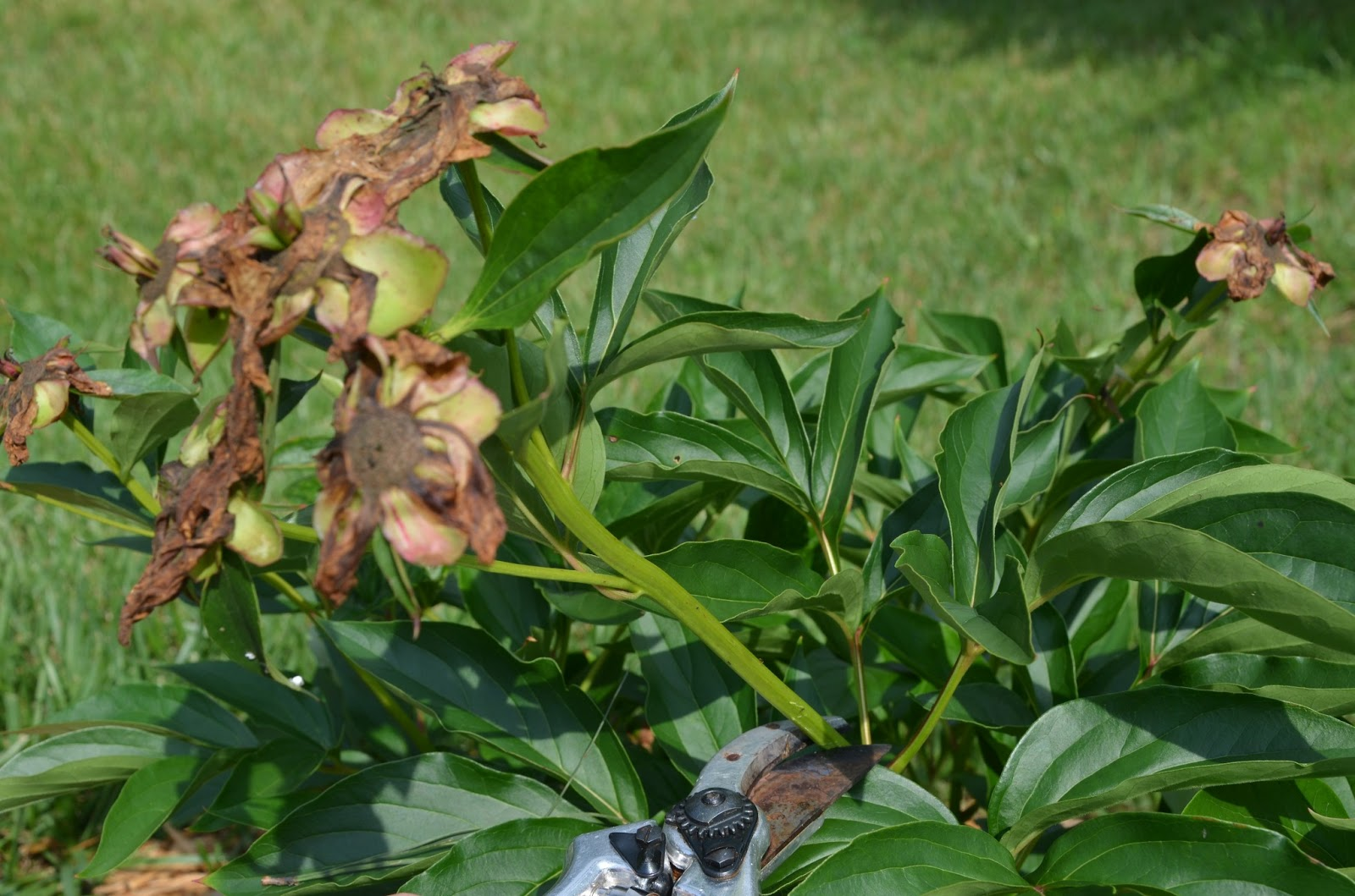Southern Peony: 2013 How to Deadhead an Herbaceous Peony