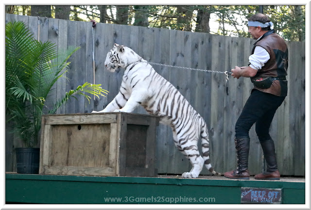 White tiger playing with plant at King Richard's Faire 2015 #krfaire