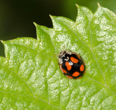 Ten-spot Ladybird, Adalia decempunctata, on roadside foliage.  Variant colour form.  North Pole Lane, near Well Wood, 11 June 2011.