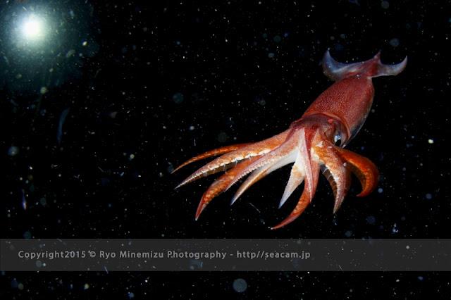 スジイカ Eucleoteuthis luminosa