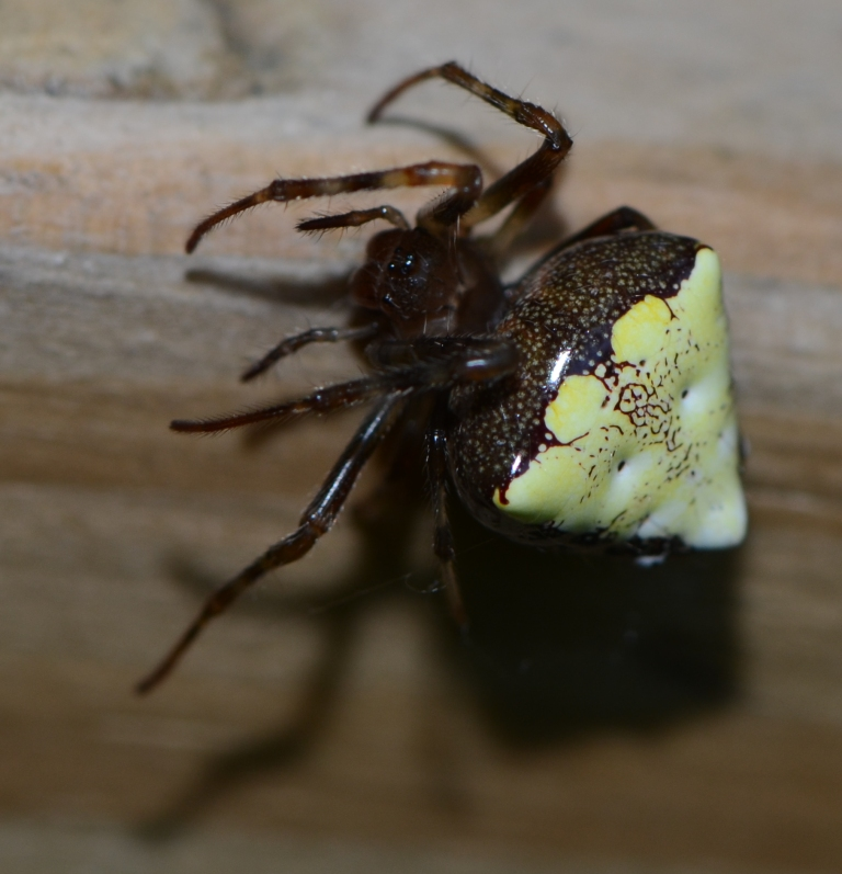 White Spider With Triangle On Back Www Picsbud Com