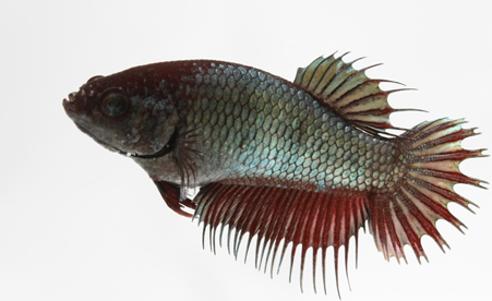 F5 Crowntail plakat female