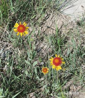 blanket flower Gaillardia