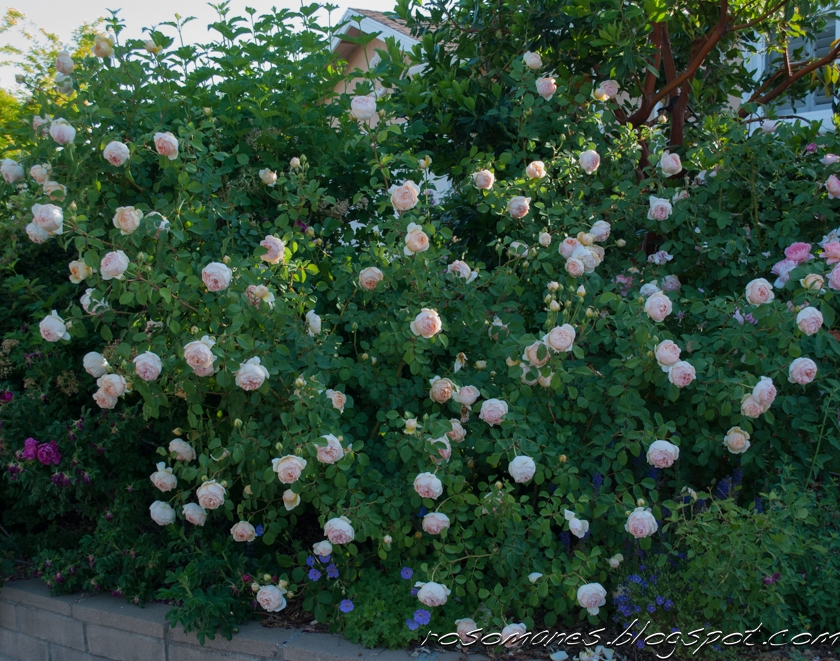 how to keep roses alive after being cut