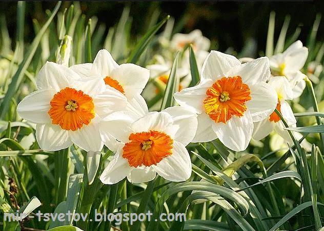 Почему не цветут фиалки - 3f7