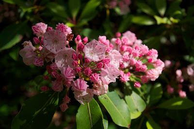Kalmia latifolia, calico bush, in the Smoky Moutains