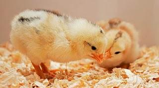 Masalah kutil pada DOC ayam kampung dan cara mengatasinya