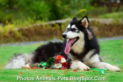 http://2.bp.blogspot.com/-jv-vlBe5dfg/Tplflja0aPI/AAAAAAAACCI/QhJcRt2F2Cg/s1600/Husky%2Bdog%2B.jpg