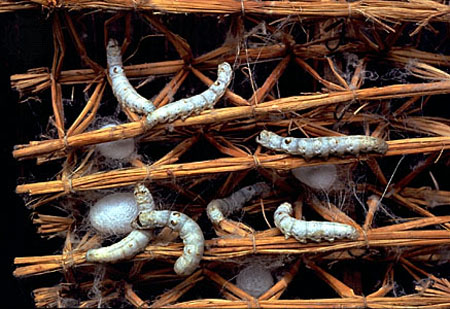 silk-worms5.jpg