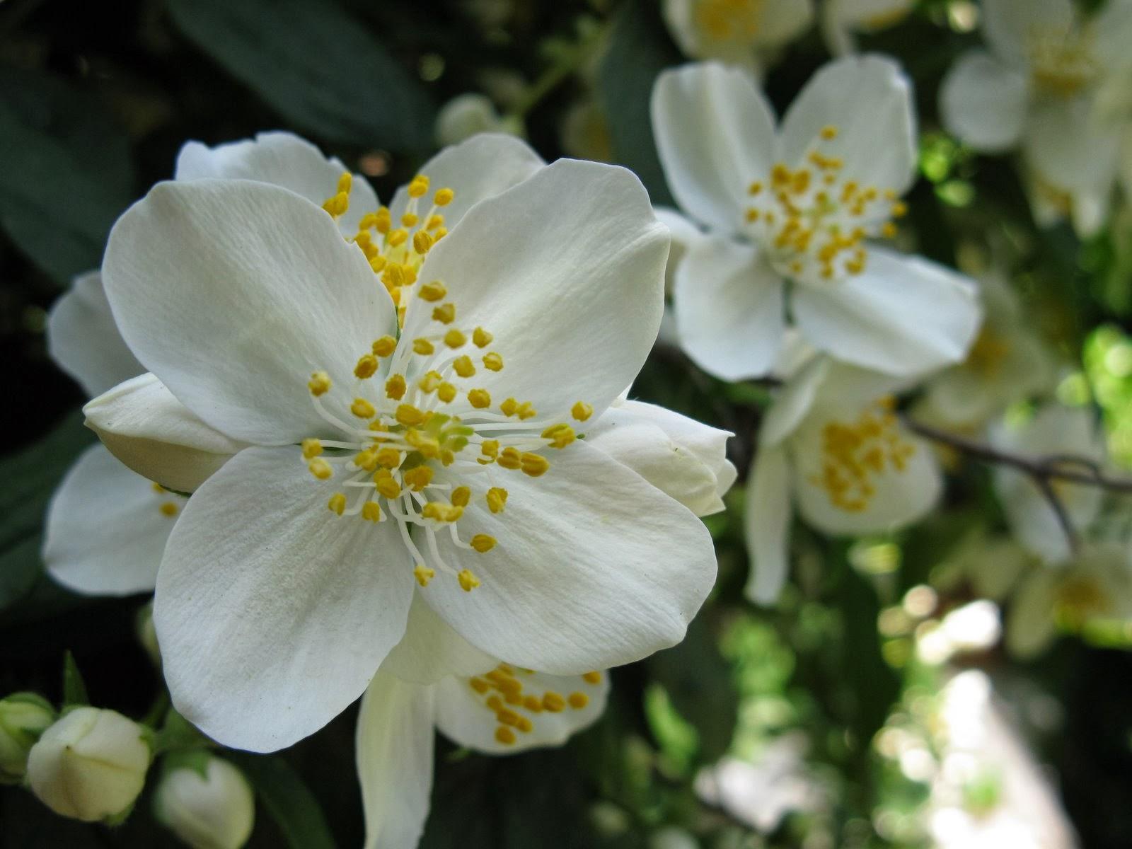 gambar bunga melati putih