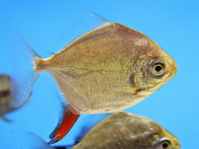 Peces y plantas ornamentales metynnis argenteus pez d lar for Manual de peces ornamentales