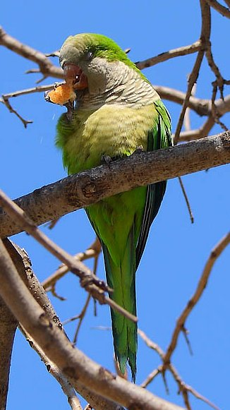 Green Parakeet (Aratinga holochlora) nibbling at a piece of bread