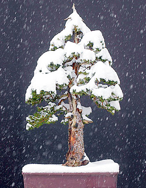 winter storage for outdoor bonsai