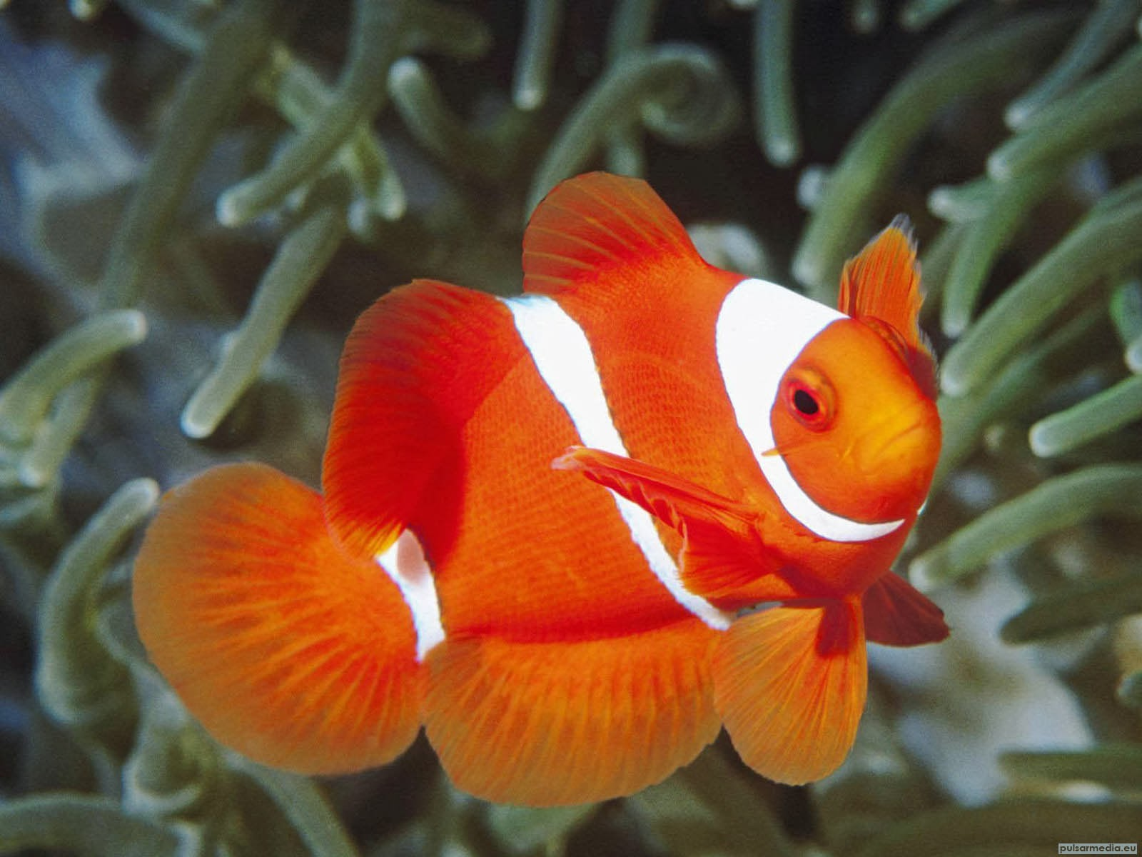 Clownfish Coral Reef Fish Wallpaper 2014 Beautiful
