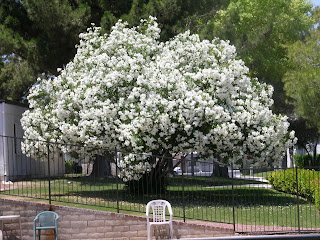 white oleander tree Xt...