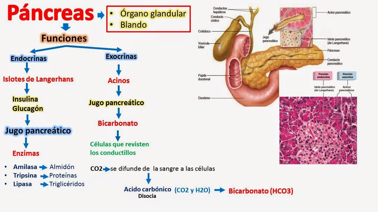 Único Anatomía Y Fisiología Del Páncreas En La Diabetes Composición ...