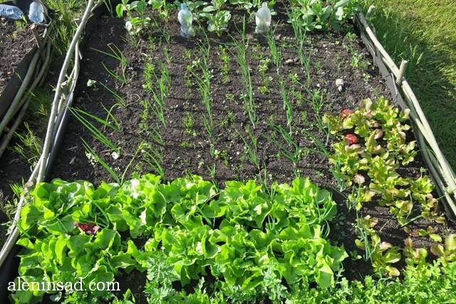 кочанный салат, высокая грядка, лук, морковь, укроп, бобы, смешанные посадки, кукуруза, ноготки, календула, аленин сад