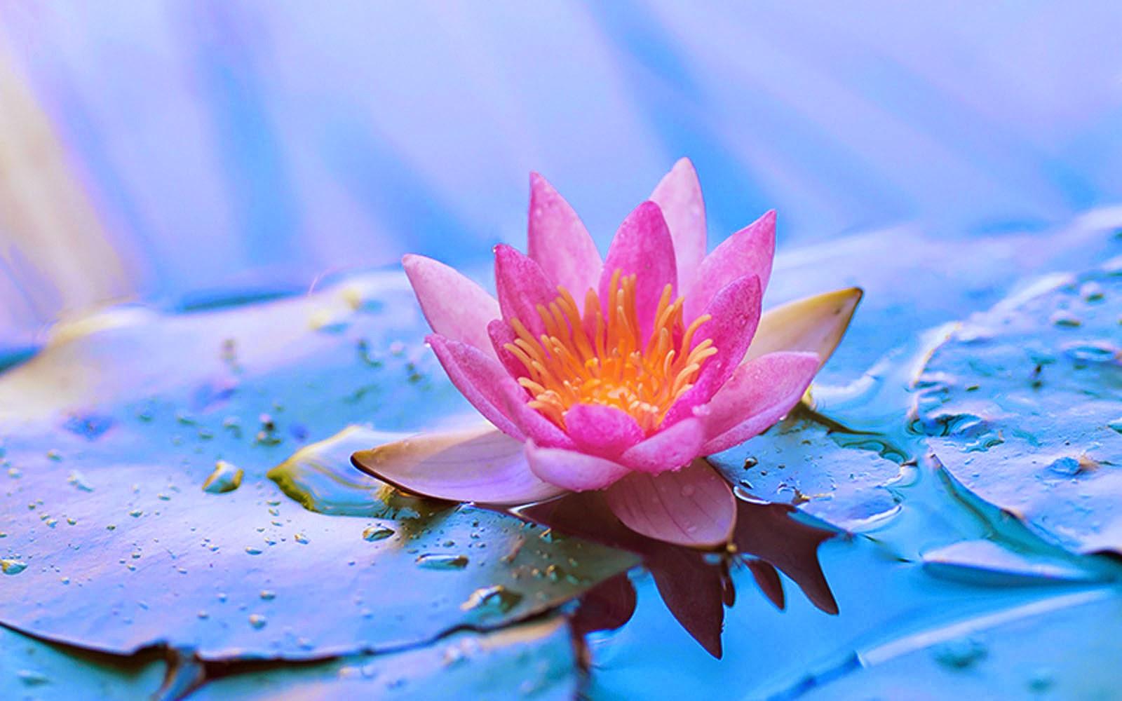 Wallpapers lotus flower wallpapers - Flower wallpaper movie ...