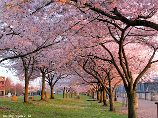 Cherry trees in bloom on the waterfront