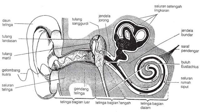 Struktur Anatomi Bagian-bagian Telinga, Proses Mendengar dan Gangguan Penyakit pada Telinga