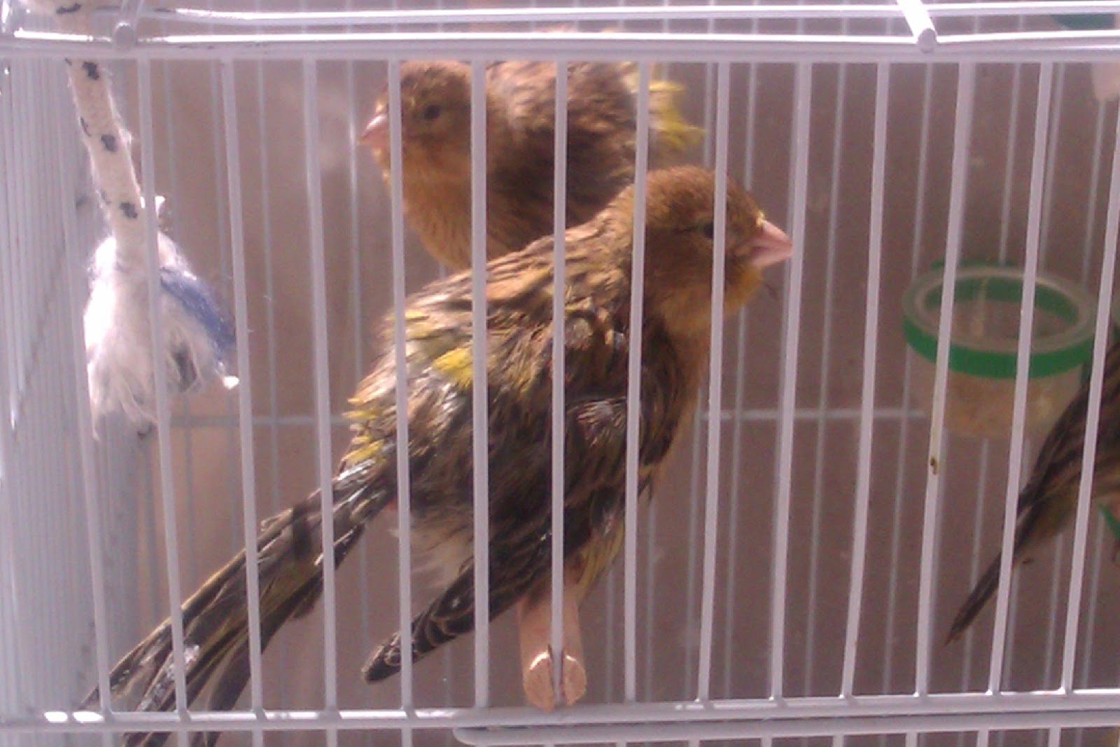 Timbrado - spanish canary