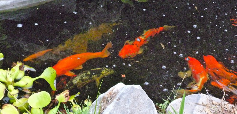 Looking for the wild gold by any other name for Looking after koi