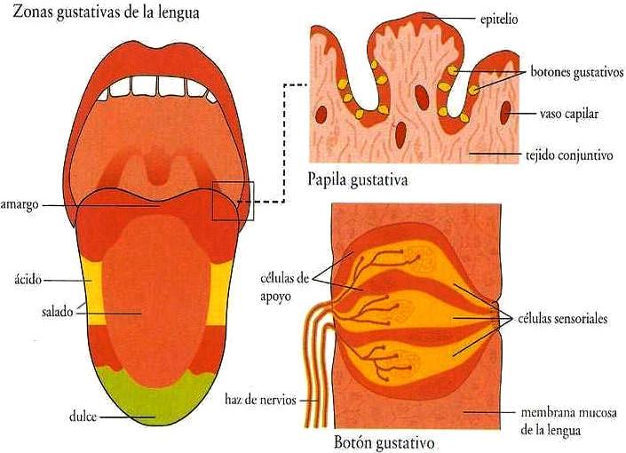 Imagen de las zonas gustativas de la lengua del cuerpo humano