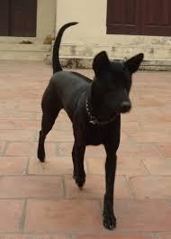 Giống chó Phú Quốc.