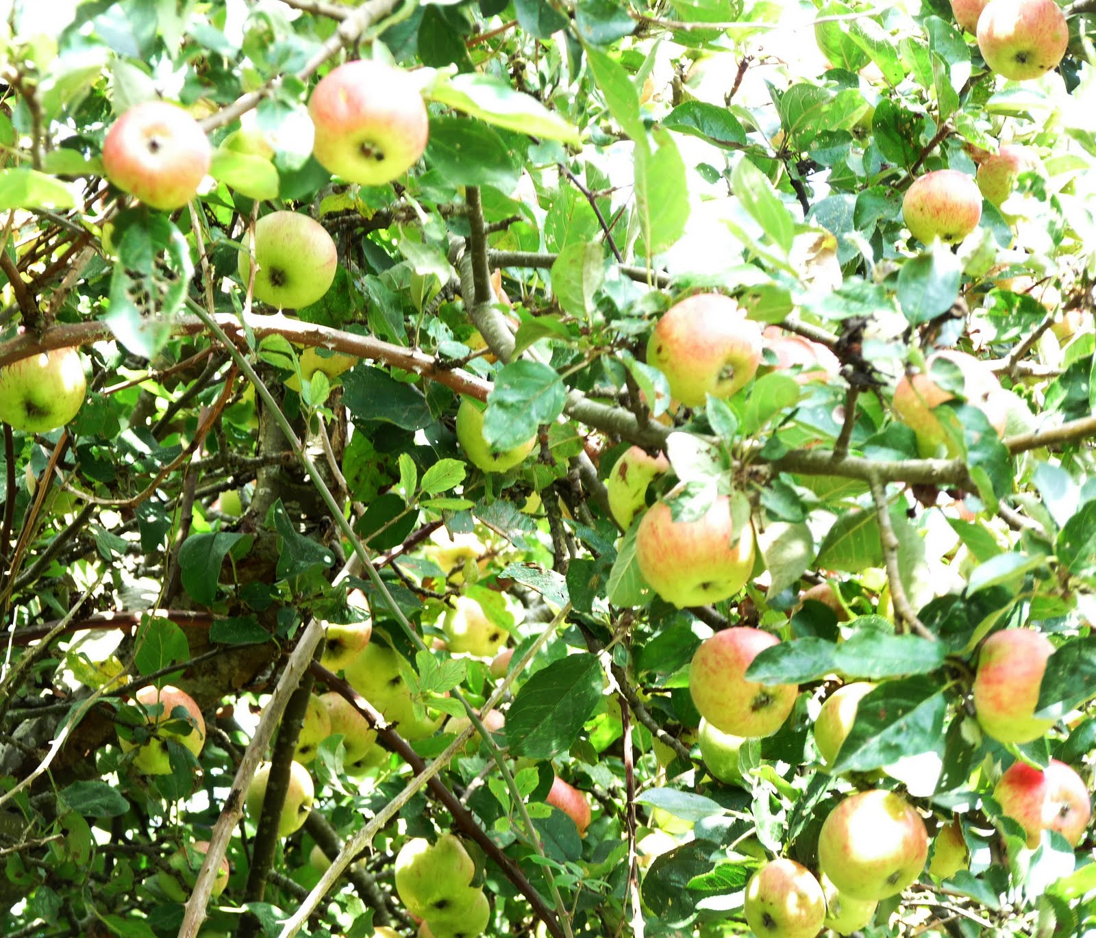 Tolpuddle Martyr Rare Apple Varieties Growing In The Fields Of France