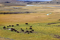 'Bison herd' by Alan Vernon on Flickr