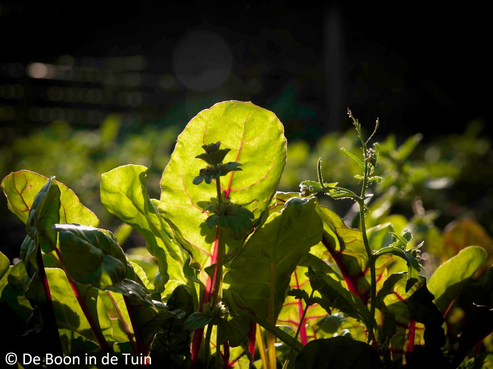 snijbiet blad stengel zon moestuin volkstuin