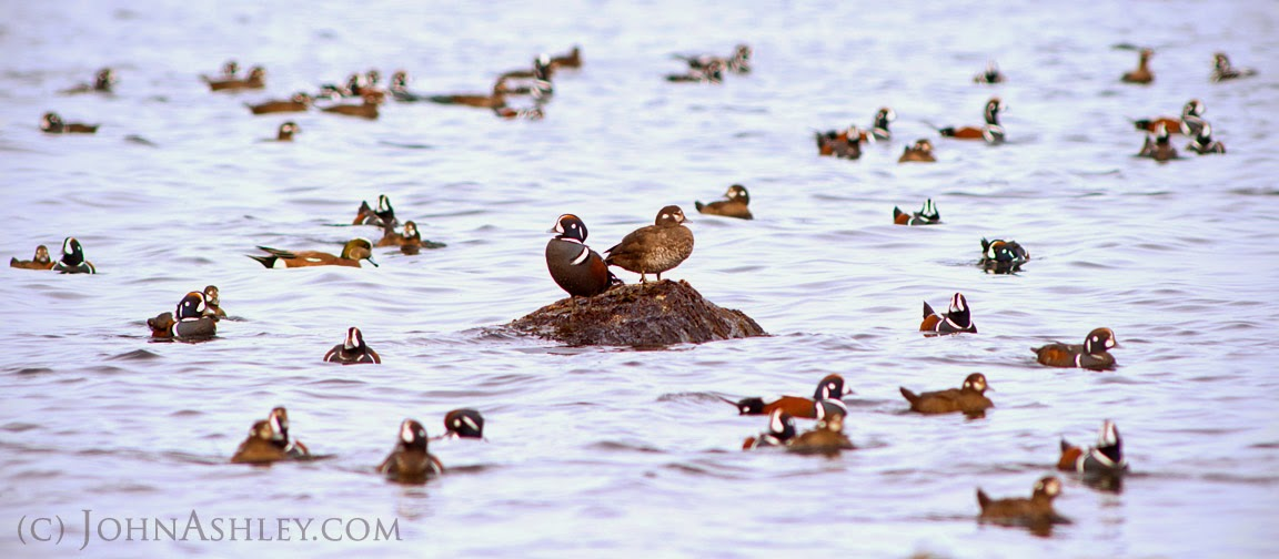 Harlequin Duck flock at Hornby Island (c) John Ashley