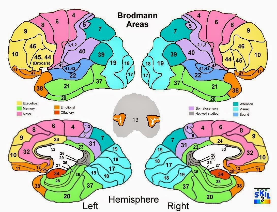 Áreas de Brodman - Anatomía de Sistema Nervioso