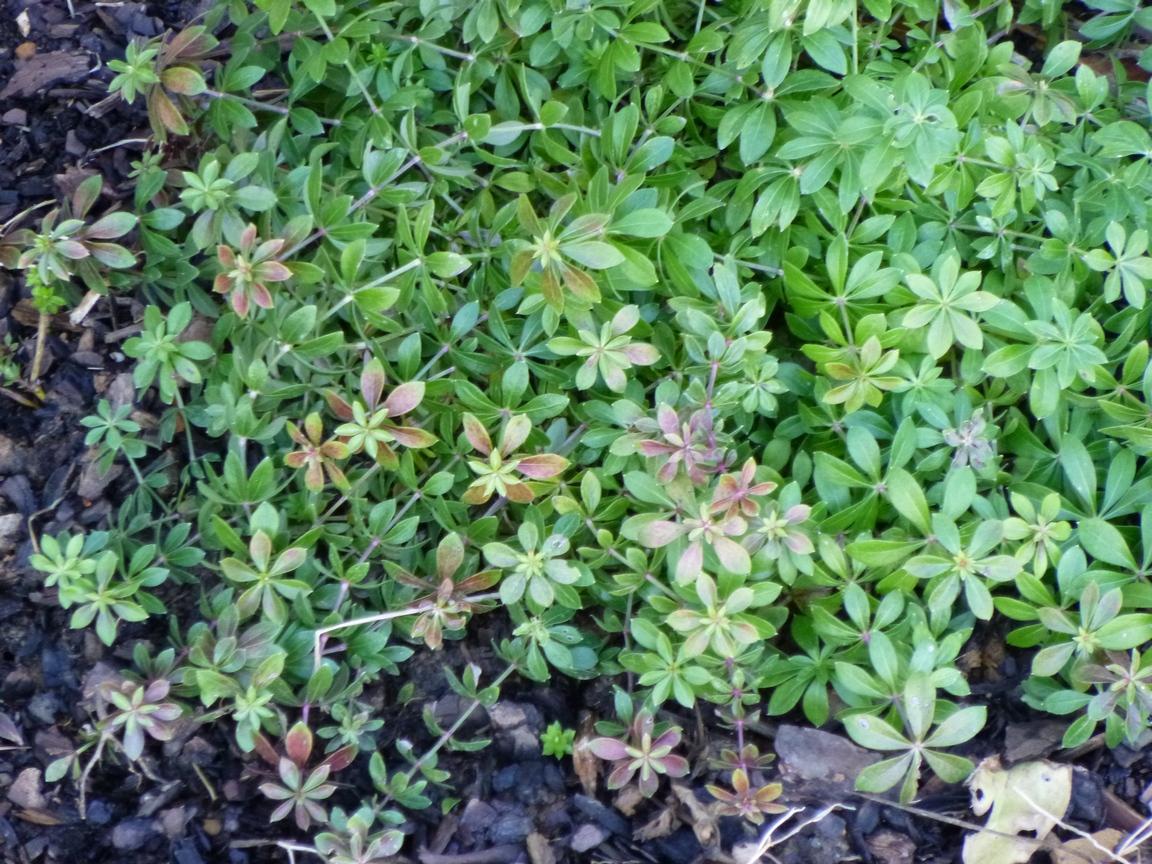 Garden of Aaron The January Garden Sweet Woodruff