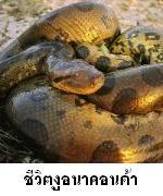 อนาคอนด้า งูยักษ์แห่งอเมซอน