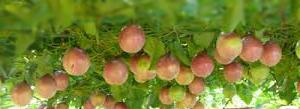 buah markisa, manfaat buah markisa bagi kesehatan