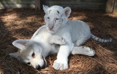 Baby White Husky