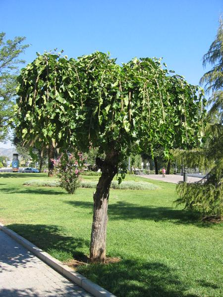 La nueva caravana la morera for Las caracteristicas de los arboles