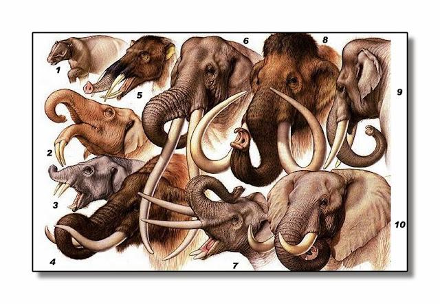 1.Moeritherium 2.Deinotherium 3.Paleomastodom 4.Mammut 5.Gomphotherium 6.Stegodon 7.Primelephas 8.Mammuthus 9. Elephas 10.Loxodonte.