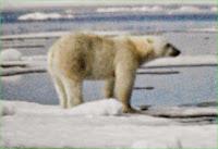 beruang,Hewan dan kemampuan uniknya,