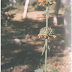 "Medicinal Uses of Leonotis Nepetaefolia,Herbal Medicinal Plant,""Hejurchei"",""Granthiparni"",Herbal Medicos"
