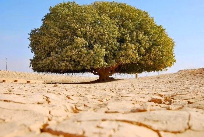 Inilah Pohon Yang Memayungi Nabi Muhammad Waktu Kecil