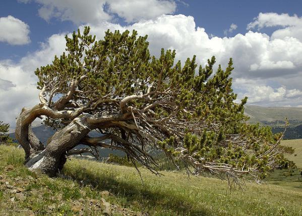 عينات '' لاقدم شجرة'' في العالم بالصور 1_bristlecone.img_assist_custom-600x428