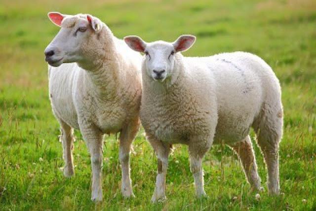 Việc sử dụng nhau thai cừu để làm đẹp là xu hướng phổ biến, được nhiều chị em lựa chọn