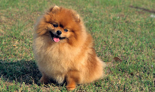 Pomeranian pictures