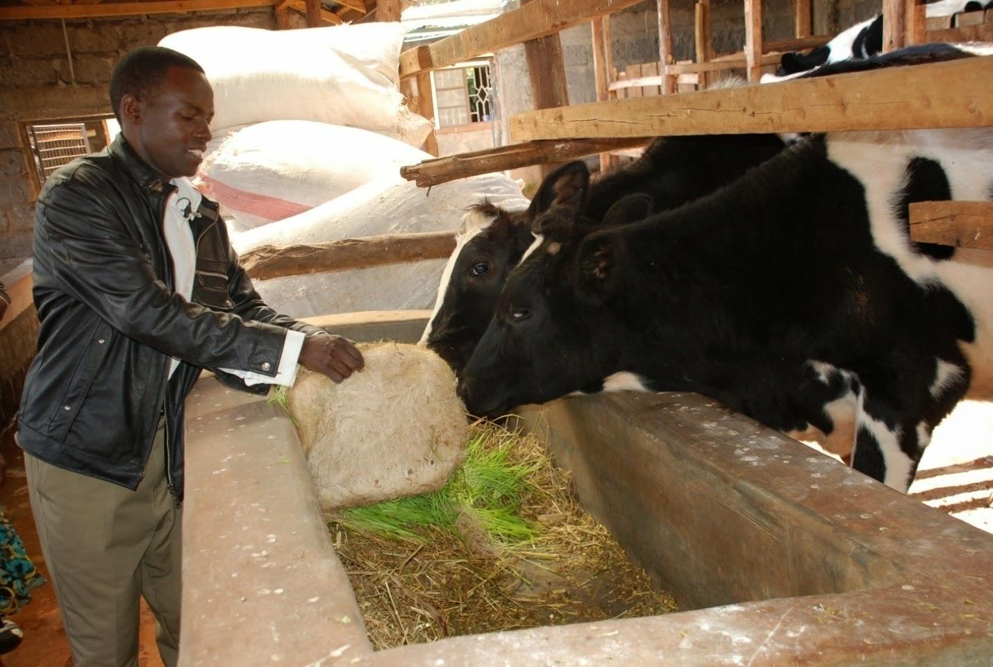 increasing pig feed prices in uganda farmers operating at loss