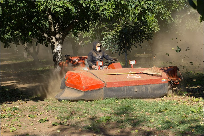 Eine große Kehrmaschine fegt und pustet die Walnüsse am Boden zu langen Reihen zusammen