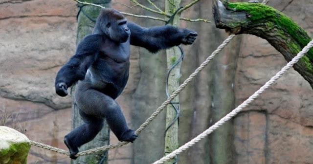 Gorila anda na corda bamba para namorar